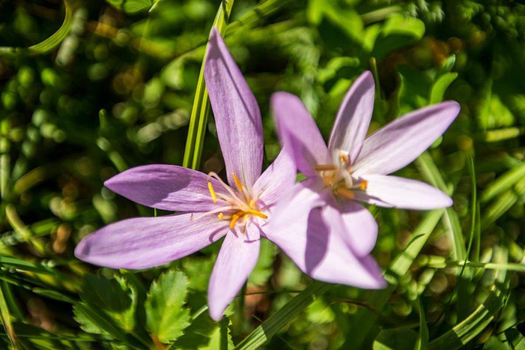 Blume Bewirtschaftete Tofereralm in Bad Hofgastein