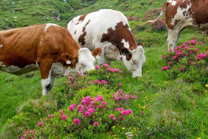 Kühe auf der Bewirtschaftete Tofereralm in Bad Hofgastein